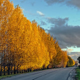 Autumn Tree-Lined Road 00496
