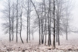 Trees In Fog & Frost 00946