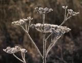 Frosty Dead Wildflower 00976