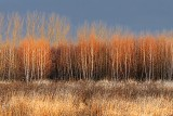 Field Of Birch 02530