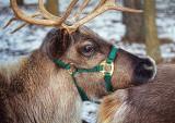 Reindeer Closeup 03947