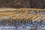 Cornfield In Winter 04511