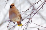 Waxwing On A Branch 05275