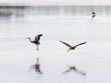 Two Herons In Flight 27099