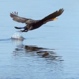 Cormorant Taking Flight 27989