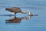 Heron Striking 27997