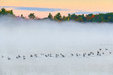 Geese Flotilla On Misty Otter Lake 28423