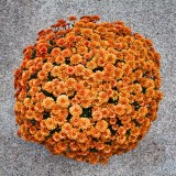 Pot of Mums 28806