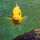 Yellow Fish 01667