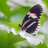 Black Butterfly 28158-60