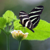 Zebra Longwing Butterfly 28247