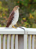 Hawk On A Railing 29712