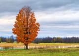 Autumn Tree 29716