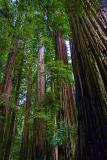 Coast Redwoods 20051125