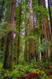 Coast Redwoods3