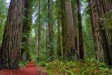 Coast Redwoods2
