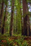 Coast Redwoods4
