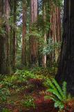 Coast Redwoods5