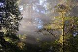 Redwood Sunrays3
