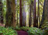 Trail in the Redwoods