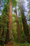 Coast Redwoods6