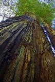 Coast Redwood 20051129