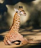 Young Giraffe Relaxing