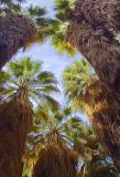 Desert Fan Palms