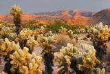 Cholla Cactus Garden At Sunrise 25981