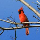 Cardinal Singing 20060414