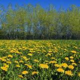 Field of Dandelions 20060430