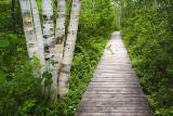 Birches by the Boardwalk 20060604