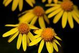 Small Yellow Wildflowers 20060606