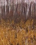 Birches & Cattails