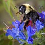Bee in Blue Flowers