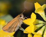 Orange Butterfly4