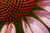 Coneflower Closeup