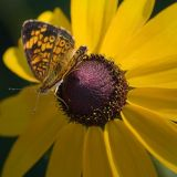 Butterfly on a Blackeyed Susan