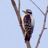 Downy Woodpecker (crop)