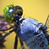 Blue Dragonfly Macro2 Detail