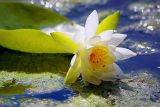 Tired Water Lily
