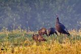 Wild Turkeys 20060817