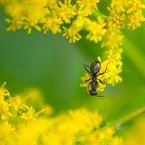 Ant On Goldenrod 20060912