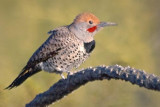 Woodpeckers of the US Southwest
