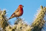 House Finch On A Cholla 81530