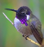 Costa's Hummingbird 81782