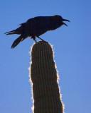 Raven On A Saguaro 83266