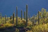 Backlit Cacti 83244