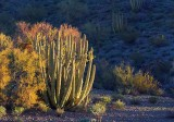 Organ Pipe Cactus At Sunrise 82831