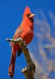 Cooperative Cardinal 20080217